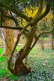 Oude, zieke pijnboom in kleurrijk milieu Stock Afbeeldingen