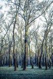 Oude zilverberkbomen in de winter met naakte takken, Kroatië royalty-vrije stock afbeelding