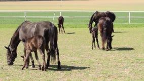 Oude zwarte het paardmerrie van Kladrub met veulen stock footage