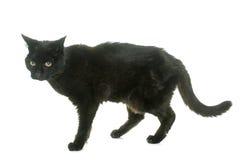 Oude zwarte kat Royalty-vrije Stock Foto