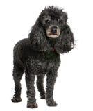 Oude zwarte poedel (12 jaar oud) Royalty-vrije Stock Foto's