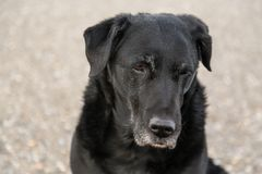 Oude zwarte verdwaalde hond headshot stock fotografie