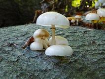 Oudemansiella-mucida Pilze stockbilder