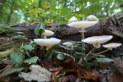 Oudemansiella mucida, the porcelain fungus in a close wide-angle shot Stock Photo