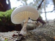 Oudemansiella mucida -Porcelain Mushroom. Detail of Porcelain Mushroom from UK forests Royalty Free Stock Images