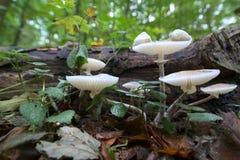 Oudemansiella mucida porcelana grzyb w zamkniętym szerokim kąta strzale zdjęcie stock