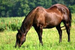 Ouder Paard dat van Pensionering geniet Royalty-vrije Stock Foto's