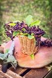 Oudere bessenbos met bladeren in mand en oude pruner Stock Fotografie