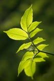 Oudere bladeren in de lente Royalty-vrije Stock Afbeeldingen