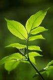 Oudere bladeren in de lente Royalty-vrije Stock Fotografie