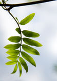 Oudere bladeren in de lente Stock Afbeeldingen