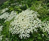 Oudere bloeiende bloemencluster dicht omhoog royalty-vrije stock afbeeldingen