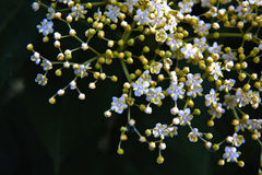 Oudere bloem Stock Foto