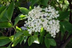 Oudere bloem Stock Afbeeldingen
