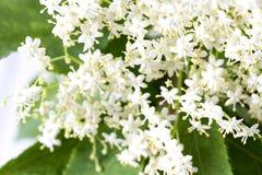Oudere bloemen Stock Afbeelding