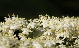 Oudere bloemenbos Royalty-vrije Stock Foto