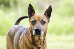 Oudere rode het rassenhond die van de Herdersmengeling staart, de goedkeuringsfoto zwiepen met van de huisdierenredding royalty-vrije stock fotografie