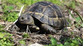 Oudere schildpadden Royalty-vrije Stock Foto's