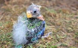 Ouderloze baby Australische Rosella Stock Fotografie