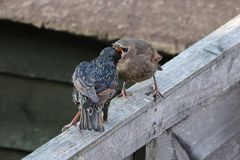 Ouderstarlings die babystarlings voeden royalty-vrije stock foto
