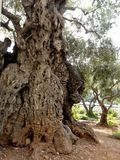 Oudste Olive Tree in de Tuin van Gethsemane, Jeruzalem, Israël stock foto's