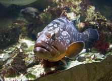 Ouïes basses de poissons prédateurs de Promikrops grandes Photographie stock