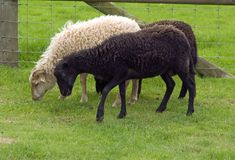 Ouessant Sheep Stock Images