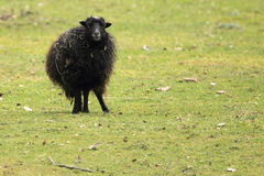Ouessant sheep Royalty Free Stock Image