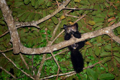 Oui-oui lémur de madagascariensis de Daubentonia image libre de droits