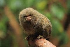 Ouistiti pygméen Photographie stock libre de droits