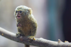Ouistiti pygméen Photo stock