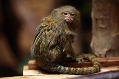 Ouistiti pygméen (pygmaea de Cebuella) photographie stock