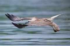 örn som flyger full havshastighet Royaltyfri Bild