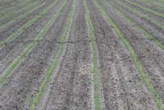 Oung corn field Stock Photos