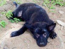 Oung schwärzen streunenden Hund oder Welpen mit der Leprashow, die um seine Augen und Beine liegen aus den Grund unbehaart ist stockfotos