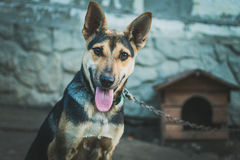 Oung Shepherd dog looks expressive lifting ears Stock Photography