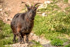 Мountain goat. Stock Photos