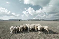 ?ountryside mit den Schafen, die in der Wiese weiden lassen Lizenzfreies Stockfoto