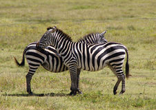 Сouple. Two zebras in Lake Manyara National Park Stock Photos