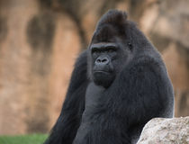 Our ancestor. The expression of a gorilla photographed in the foreground Royalty Free Stock Photos
