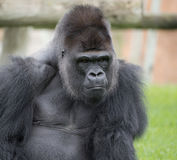 Our ancestor. The expression of a gorilla photographed in the foreground Stock Images
