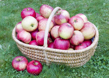 Our apples for you Royalty Free Stock Image