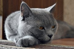 Our beloved cat. Home a British cat, wayward character, a nice guy that way Stock Image