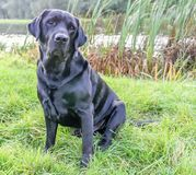 Our dear labrador retriever stock photo