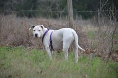 Our dog sweetpea on the farm in tall grass Royalty Free Stock Image