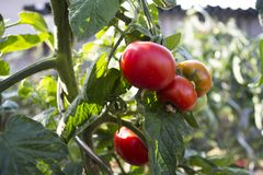 Our garden and tomatoes, tomato pant. royalty free stock photography