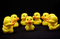Our Leader. A group of plastic yellow ducks sit in a semi circle around a single duck as if looking for guidance.  The ducks sit on a black background Royalty Free Stock Photos