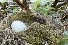 Our Nest Egg. A solitary egg in a bird's nest Stock Images