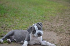 Our new pitbull puppy kayce laying on the ground Stock Photos