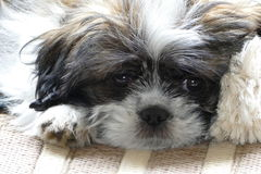 Our new puppy Lara. Our 14 weeks old puppy Lara who is a mixed Shih Tzu Royalty Free Stock Images